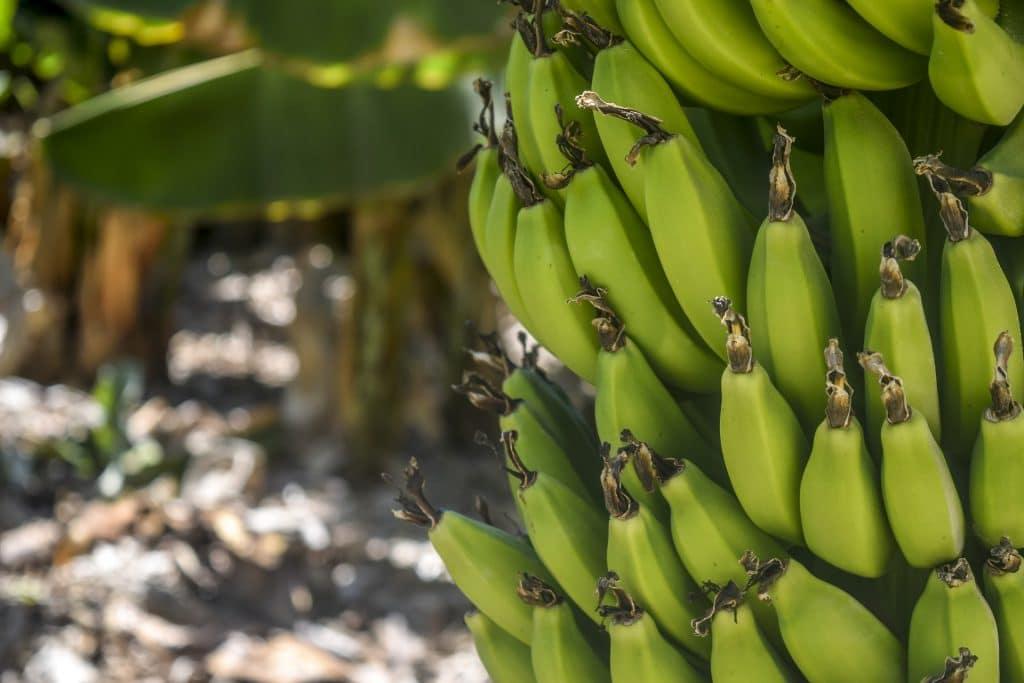 Planta del plátano