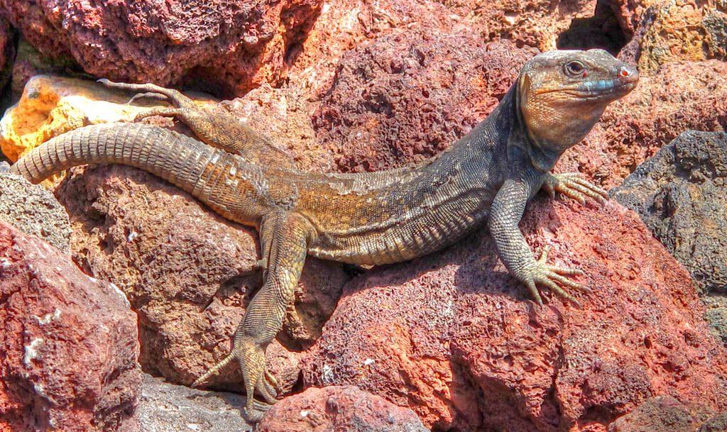lagarto-gigante-de-gran-canaria
